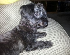 lulu, poodle, yorkshire terrier, yorki-poo, puppy, dog, baby, fur babies, adorable, spunky, lynne st. james