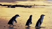 Philip Island, nature preserve, penguins, melbourne, australia, victoria